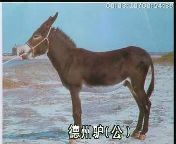 养驴视频200规格型号及价格 肉牛 肉驴 西门塔尔牛 波尔山羊
