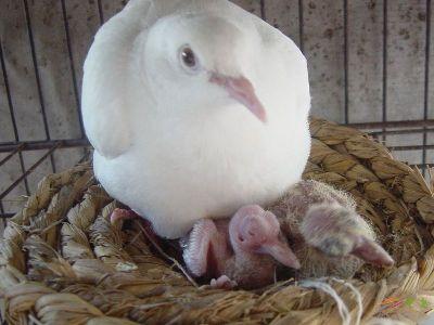 肉鸽 手机/肉鸽养殖,专业养肉鸽技术,生产鸽,农户办鸽场注