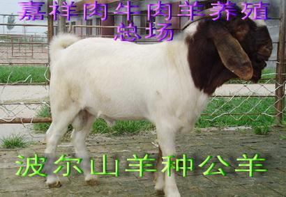 致富经 农村养殖项目,肉羊,波尔山羊养殖20规格型号及价格 肉牛 肉