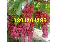 �西葡萄�t提葡萄�籼�8�葡萄美人指葡萄�a地