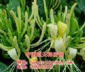 一年生金银花种苗