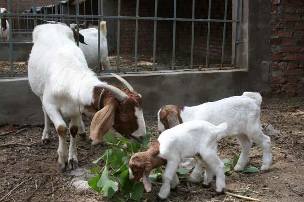 波尔山羊价格 波尔山羊养殖场 哪里卖波尔山羊价格及规格型号
