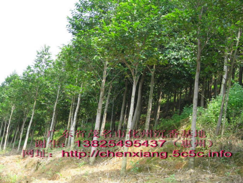 沉香树 价格