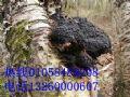 桦褐孔菌北京哪里卖桦褐孔菌桦树茸